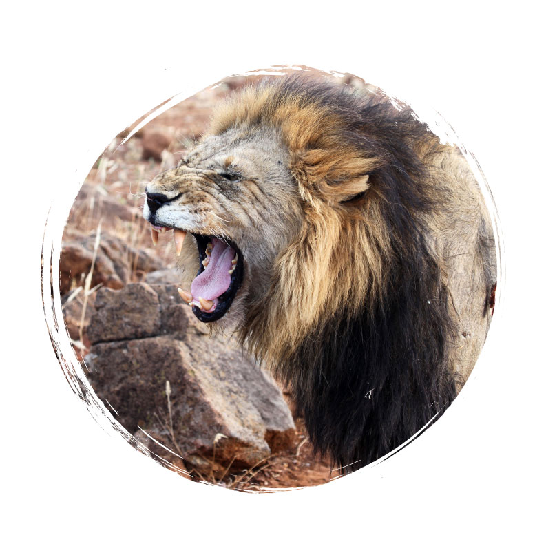 Adventure Travel - Roaring Lion in Safari